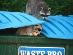 Two Raccoons Conduct Coordinated Raid on Green/Blue Dumpster animaux provenant de Raton laveur