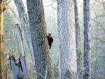 Wide Shot of Raccoon Climbing Side of Tall Tree animaux provenant de Raton laveur