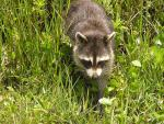 Thin Racoon in Weeds Seems to Know Where He's Going animaux provenant de Raton laveur
