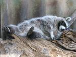 Luxuriant Raccon Sprawled-Out Taking a Nap on Driftwood animaux provenant de Raton laveur