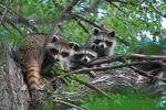Family of Three Racoons Stares Down Photographer From Tree animaux provenant de Raton laveur