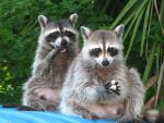 Two Racoons Spy Suspicious Photographer While Eating animaux provenant de Raton laveur