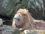 Light-Colored Capybara By Rocks With Ruffled Fur And Large Nostrils animaux provenant de Capybara
