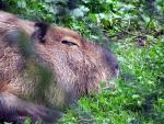 Close-Up Portrait of Sleeping Capybara's Face animaux provenant de Capybara