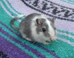 Cute Close Shot of Grey Mottled Black Gerbil With Pretty Black Eyes animaux provenant de Gerbils