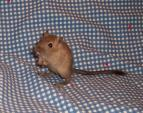 Burmese Gerbil Stand On Hind Legs With Tail Tuft On Blue Checkerboard Cloth animaux provenant de Gerbils
