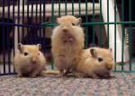 Three Alert Light-Colored Gerbils With The Sweetest Eyes animaux provenant de Gerbils