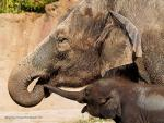 Dusty Mommy Elepahtn and Clean Baby animaux provenant de Elephant