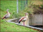 The Egyptian Goose On The Ledge animaux provenant de Oie égyptienne