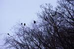 Many Jackdaws Roost In Trees Near Scottish Home animaux provenant de Choucas