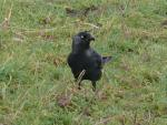 Jackdaw Stands In Grassy Field And Looks Sideways animaux provenant de Choucas