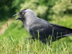 Jackdaw With Wide Open Beak,  Photographer From Camera Near Ground Level animaux provenant de Choucas