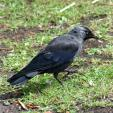 Blue-Eyed Jackdaw Caught In Mid-Step On Dity Lawn animaux provenant de Choucas
