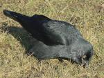 Jet Black Jackdaw Looks for Food In Shortly Cut Grass animaux provenant de Choucas