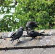 Doting Parents Feed (Large!) Jackdaw Baby On Rooftop of British Cottage animaux provenant de Choucas