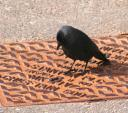 Jackdaw Looks Like He's Reading Words On Metal Panel Embedded In Street animaux provenant de Choucas