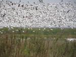 Snow Geese Fill Sky Over Texas's Anahuac Wildlife Reguge animaux provenant de Oie des neiges