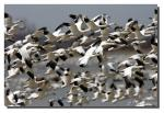 Chaotic Image Of Hundreds Of Snow Geese Flapping Black-Tipped Wings animaux provenant de Oie des neiges
