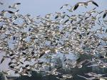 Hundreds Of Snow Geese Fill Frame In Dense Flock animaux provenant de Oie des neiges