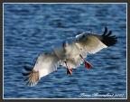 Snow Goose With Wings Pulled Inward And Black Wing Tips animaux provenant de Oie des neiges