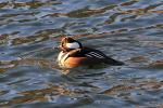 The Sunlight Reflected In The Water Makes The Hooded Merganser More Beautiful animaux provenant de Harle