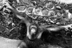 Black and White Orangutan In Front of Rock-Embedded animaux animaux provenant de Orangutans