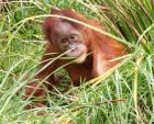 Cute Baby Orangutan In Tall Grass Looks Right At Camera (Awwww!) animaux provenant de Orangutans