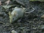 Wild Mouse With Protruding Eyes And Nice Long Gray Tail On Textured Ground animaux provenant de Souris