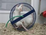 Two Motion-Blurred White Mouse Spin Blue Exercise Wheel At High Speed animaux provenant de Souris