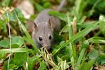 Nice Close Shot Of Refined Looking Grey Mouse In Weedy Lawn animaux provenant de Souris
