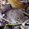 Sweet But Serious Looking Mouse Attempts To Hide In Bed Of Wet Leaves animaux provenant de Souris