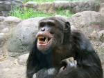 Chimpanzee With Big Teeth Gawks At Spectators animaux provenant de Chimpanzé