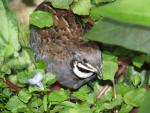 Small Brown Quail Bird Hides In Green Vegetation animaux provenant de Caille