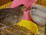 A Pair Of Button Quail Share Cage With Plastic Food And Water bowls animaux provenant de Caille