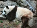 Panda Spreads Out and Sleeps In Rock Garden animaux provenant de Panda g�ant