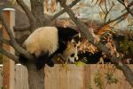 Giant Panda Hangs from Tree in the Fall animaux provenant de Panda g�ant