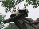 Giant Panda Climbs, Drapes Himself Over Run-In Shed animaux provenant de Panda g�ant