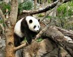 Tai Shan Climbs Across Branch At US National Zoo animaux provenant de Panda g�ant
