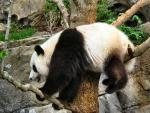 Giant Panda With Front Paws On One Branch and Butt On Another animaux provenant de Panda g�ant