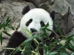 Giant Panda Poses With His Lunch, Lots of Bamboo! animaux provenant de Panda g�ant