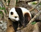 Giant Panda Bear Sits in Tree With Claws Unfurled animaux provenant de Panda g�ant