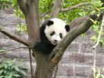 Gorgeous Giant Panda Climbs A Tree animaux provenant de Panda g�ant