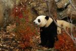 Panda in Falled Autumn Leaves, Red Shrubs animaux provenant de Panda géant