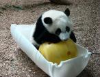 Giant Panda Bent Over Ball in White Half-Barrel animaux provenant de Panda géant