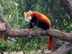 Red Panda With Belly and Legs Noticably Darker than Dorsal Parts animaux provenant de Panda rouge
