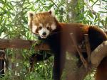 Inquisitive Red Panda Watches Spectators animaux provenant de Panda rouge