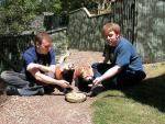 Two Young Men Feed Fruit to Two Friendly Red Pandas animaux provenant de Panda rouge