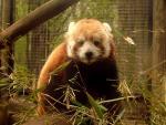 Lesser Panda In Wire Enclosure Engages Photographer animaux de                   Caline41 provenant de Panda rouge