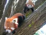 Lesser Panda Scrambling Rapidly Through Trees animaux provenant de Panda rouge