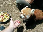 Humans Feed Red Panda Little Pieces of Fruit animaux provenant de Panda rouge